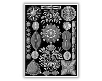 Ernst Haeckel Biology Print, Algae Illustration, Diatom Scientific Art, Marine Life Artwork, Full Plate Collection Available, NH78