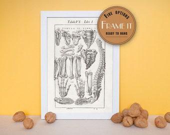 illustration of the major bones of the body - framed fine art print, art of anatomy, home decor 8x10, 11x14, 157