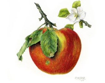 Apple with Blossom - 8.5 x 8.5 -  botanical art print - colored pencil drawing -  apple blossom -  apple print - wall art - home decor