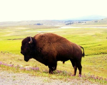 ACEO Print Fotografie Buffalo Yellowstone Tal Wildtiere native Tier offene Auflage