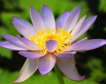 Heirloom 12 Nymphaea Seeds Water Lily Waterlily Red Yellow White Blue Pink Garden Flower Bulk S800