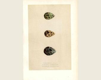 1896 F.O. Morris, Morris Egg Prints  - Antique Egg Print Stint & Sandpiper Original Coloring, Woodblock, Speckled Egg Print