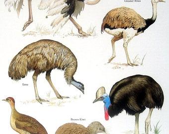 Ostrich, Rhea, Kiwi, Cassowary, etc. Vintage 1984 Animals Book Plate