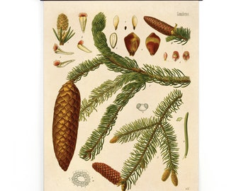 Pull Down Chart - Botanical Norway Spruce Diagram Print. Educational Poster Kohler's Botanical. Medicinal Plants evergreen tree  - CP281cv
