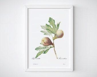 Watercolor Print, Botanical Flower, Botanical Art Prints, Pierre Joseph Redoute, Botanical Poster | FIGUE VIOLETTE
