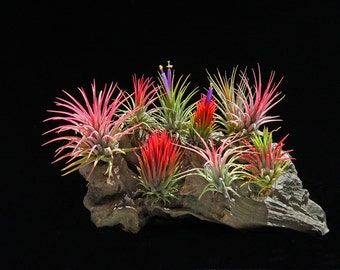 Ionantha Multi Package | Air Plant Tillandsia |