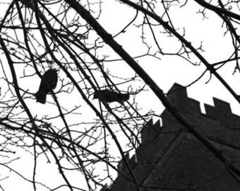 Bunratty Ravens - Original Signed Fine Art Photograph