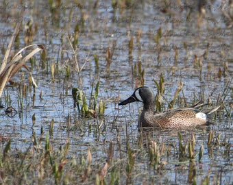 Blue Winged Teal  (11 x 17 glossy poster)