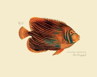 """Vintage Fish """"Der Kaiferfish"""" Druck 8 x 10 P185"""