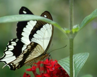 Brown and white swallowtail photo 4x6 PRINT