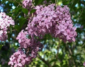 10 Early Lilac Tree Seeds, Syringa oblata