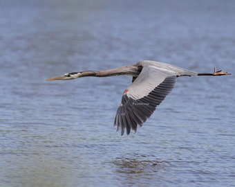 Great Blue Heron, heron, flying, lake, photo, print, photography, wall art, home decor, bird, nature photography, wildlife, metal