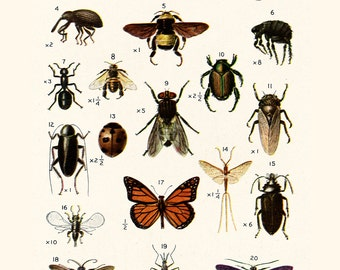 Insects: Twenty North American Insects; vintage Illustrations 8 x 10 print
