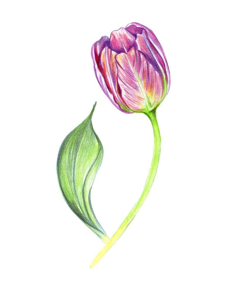 tulipe peint violet dessin art floral de couleur dessin fait. Black Bedroom Furniture Sets. Home Design Ideas