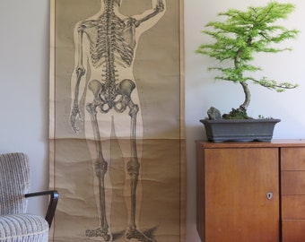 Vintage medical school full body chart of the HUMAN SKELETON posterior view. ANATOMICAL chart