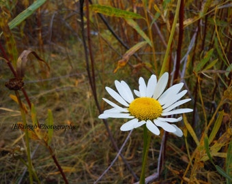 "Flower Photography, Nature Photography,White yellow daisy against autumn colors, burgandy, wine, burnt orange, ""1Daisy"", Fine Art Print"