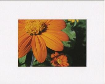 "Orange Zinnia 5""x7"" Photography Print in White 8""x10"" Mat"