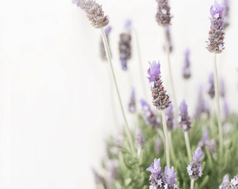 french lavender-flower photography -flower photo- cottage garden photography -  Original fine art photography prints -  FREE Shipping