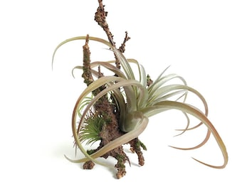 Tillandsia arrangement, air plant hanger, hanging air plant, air plant centerpiece