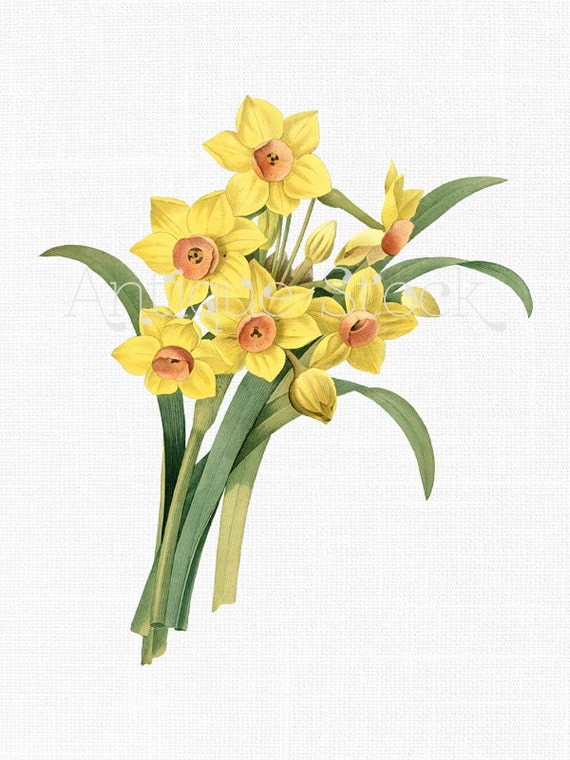 Narcissus Flowers Botanical Illustration \'Yellow Daffodils\' Clipart ...