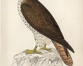 antique print Honey Buzzard Wespendief 1860