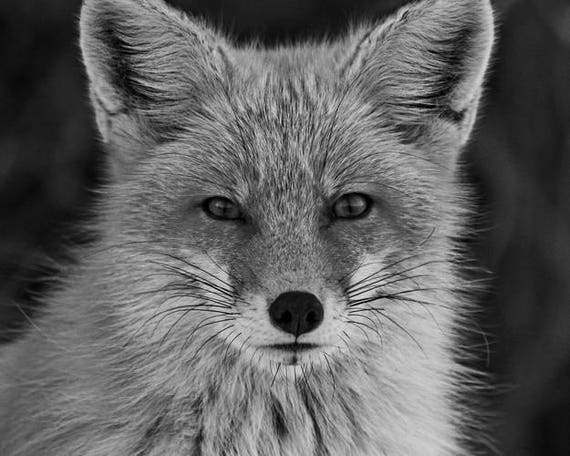 Red fox photograph black and white animal photography