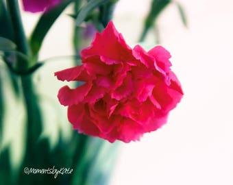 Simple Pink Carnation Flower Photo Print