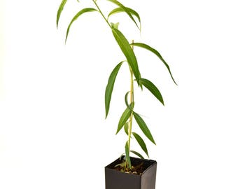 TreesAgain Potted Weeping Willow Tree in 5.5 inch tree pot - Salix babylonica - 10 to 15+ inches (See State Restrictions)