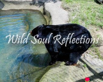 Black Bear Summer Swim