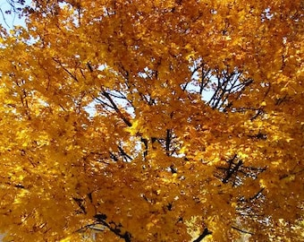 Pre-order for Spring 2018- 3 Rooted 8-12 inches Tall Live NORWAY MAPLE SAPLINGS, Well Established Root System, Beautiful Yellow Fall Foliage