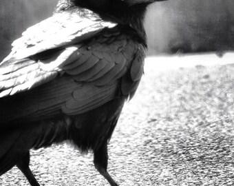 Who, Me? - PHOTO PRINT - Raven
