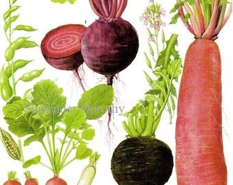 Beet Radish Chart Root Vegetable Food Botanical Lithograph Illustration For Your Vintage Kitchen 171