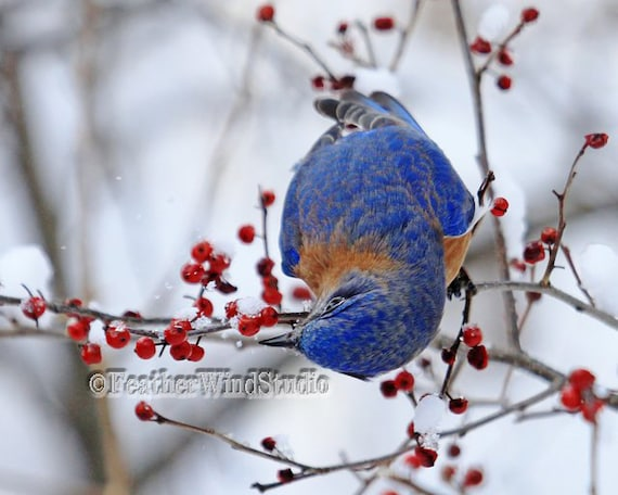 pretty design bird home decor. Bluebird Eating Berries  Pretty Bird Blue Orange White Songbird Art Thrush Bed Bath Room Design Winter Wildlife Home Decor Print