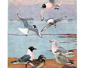 Bird Print - Gulls - Laughing Gull, Bonaparte's Gull, Franklin's Gull, Ring Billed Gull - 1932 Book Page from Vintage Bird Book -10 x 7