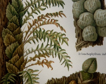 Antique print.1897.Botany lithograph in color.Epiphytes.119 year old print.Botany print.Old print.11.9x9.5 ins.,24x30 cm.