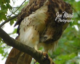 Juvenile Red-Tailed Hawk Yoga 8x10 Print Photo Picture