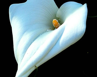 Calla lilly. original photograph 8 x 19 glossy print