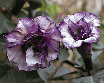 Rare Datura Angels Trumpet Double Purple Annual - 20 + seeds