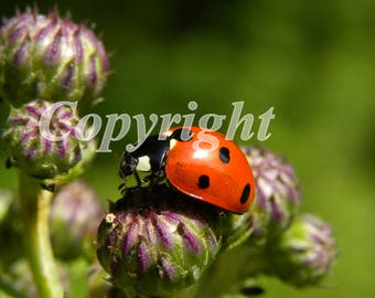 Ladybug with 7 points macro photo.