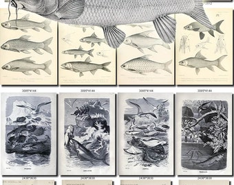 FISHES-45-bw Collection of 128 vintage images Archer Trout Flying Gurnard pictures High resolution digital download printable water animals