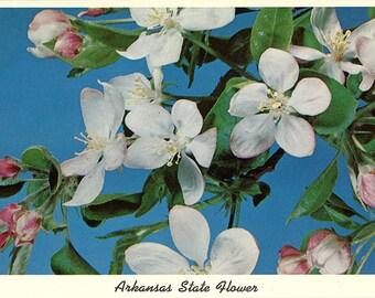 Arkansas State Flower - Apple Blossoms Vintage Postcard (unused)