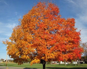 TreesAgain Potted Sugar Maple Tree - Acer saccharum - 18 to 26+ inches