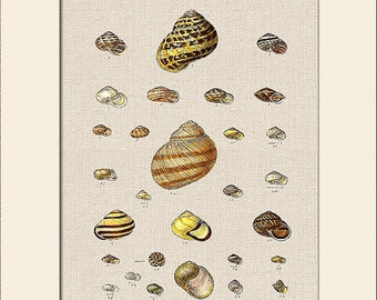 Sea Shell Print, Plate 23, George Sowerby, Art Print with Mat, Note Card, Natural History Illustration, Wall Art, Nautical Art, Costal Decor