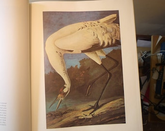 Vintage - Whooping Crane - Audubon Color Plate from 1821 print - New Orleans life painting - gift for birders - nature lovers 8.25 by 5 inch