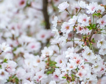 Cheery Cherry Blossoms Floral Digital Download Photograph