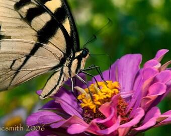 Swallowtail Closeup with Pink Zinnia