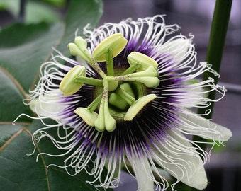 Lilikoi seeds (20) - purple passion fruit seeds, passiflora edulis var. edulis seeds from Hawaii