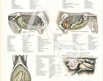 "Horse Internal Veterinary Anatomy Poster - 24"" X 36"""