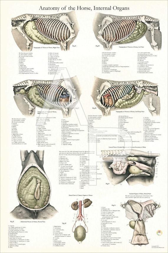 Nett Pferd Anatomie Poster Fotos - Menschliche Anatomie Bilder ...