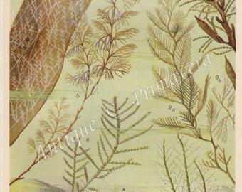 1922 Hydroids, Hydrozoa, Hydropolpys - Hydractinia echinata, Sea Fir, Air Fern, Neptune plant, Bell hydroid, etc. Antique Chromolithograph